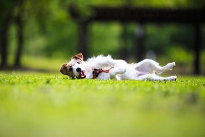 芝生の上に寝転ぶ犬