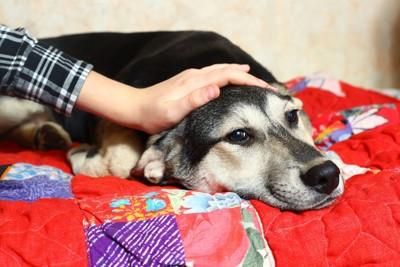ベッドの上で撫でられる犬
