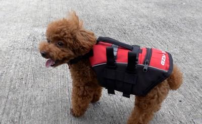 プールサイド愛犬ジャケット装着