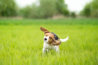 芝生の上で身震いするビーグル