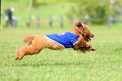 芝生を走っているトイプードル