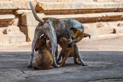 子犬に授乳中の母犬