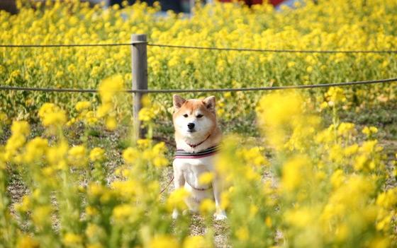 公園の菜の花と柴犬