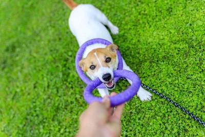 青い輪のおもちゃで引っ張りっこする犬