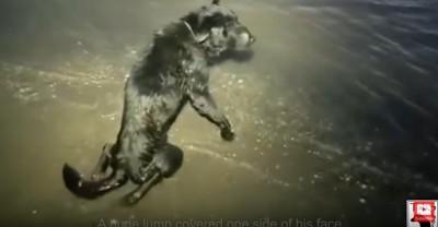 海水に浸かって後足をひきずる犬