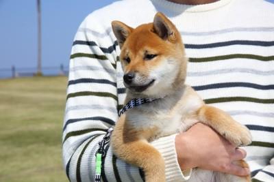 抱っこされている柴犬の子犬