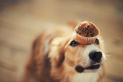 カップケーキを頭に乗せている犬