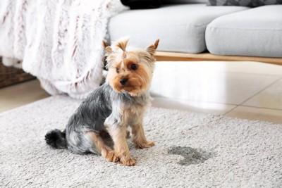絨毯におしっこをして外方を向く犬