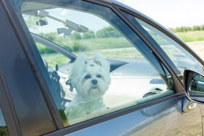 車の中で待つ犬