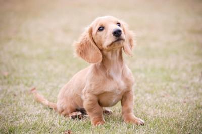 野原にいるミニチュアダックスの子犬