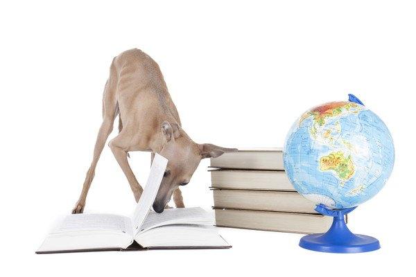 本を読むイタリアングレーハウンド