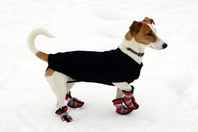 靴を履いたテリアと雪