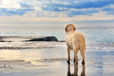 波打ち際で海を見つめるゴールデンレトリバー
