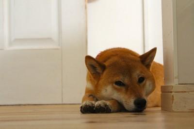 ドアの近くで伏せする犬