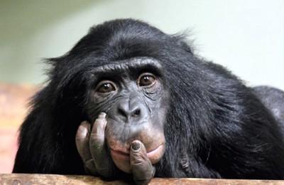 顎に手を当てて考え事をしているチンパンジー