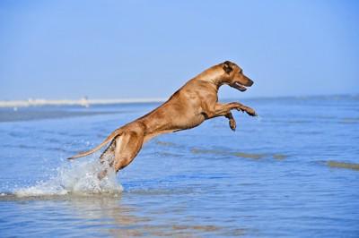 海でジャンプする犬