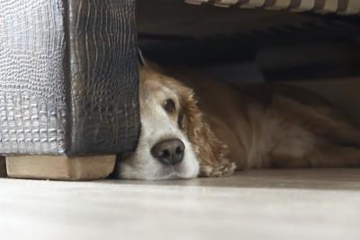 ソファーの下に隠れてくつろぐ犬
