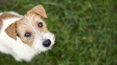 芝生の上でこちらを見上げる犬
