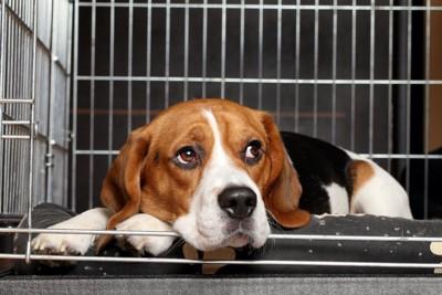 ケージの中で休んでいるビーグル犬