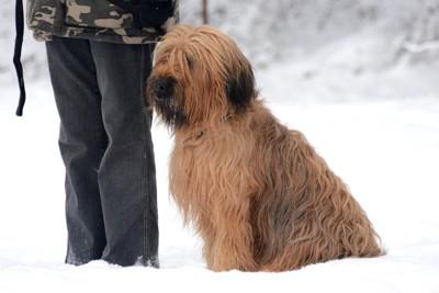積雪の中にいるブリアード