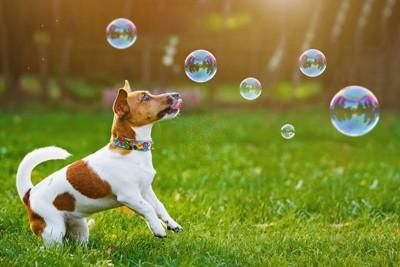 シャボン玉で遊ぶ犬