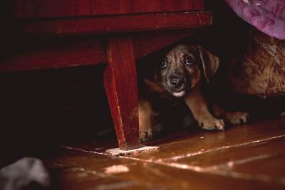 怯えた様子で家具の下に隠れる子犬