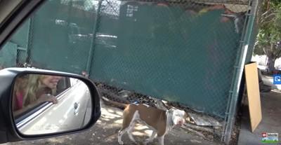 車を見ながら歩く犬