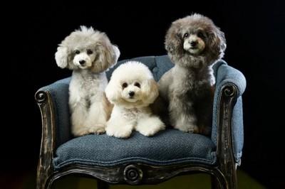椅子の上の3匹のトイプードル