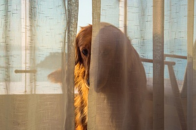 カーテンの隙間からこちらを見つめる犬
