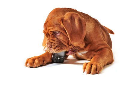 携帯電話をかじる犬