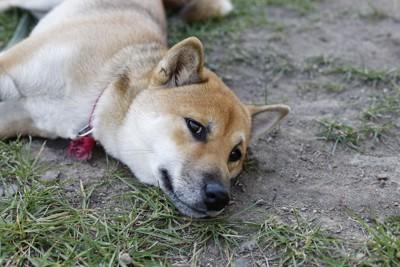 地面に寝そべっている柴犬