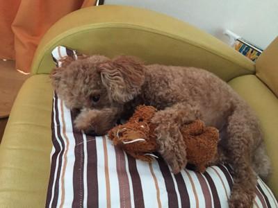 おもちゃを抱きかかえうとうとする犬