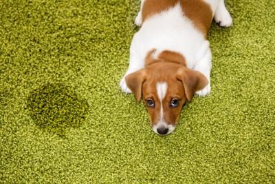 緑の絨毯におしっこをしてしまった犬