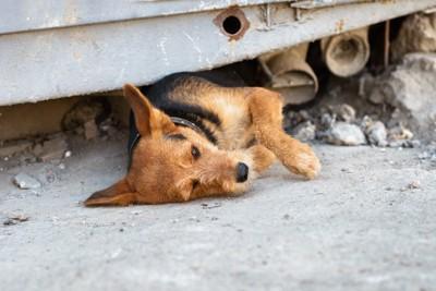 瓦礫の下に寝転ぶ犬