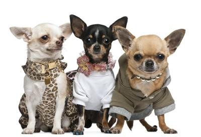 洋服を着た三匹のチワワ