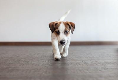 部屋を歩き回る子犬