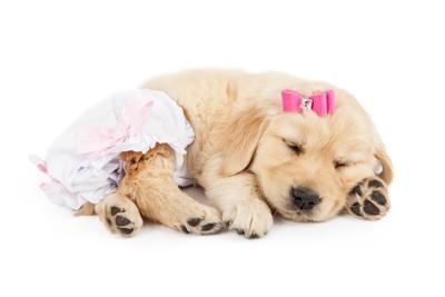 女の子の衣装を着た子犬