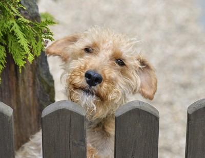 柵から見つめてくる犬