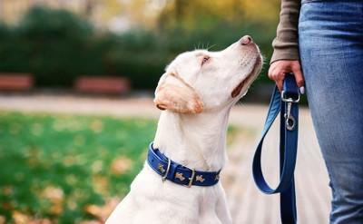 リードを持つ飼い主を見上げる犬