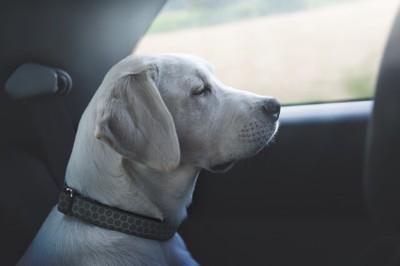 133963764  寂しそうな車内の犬
