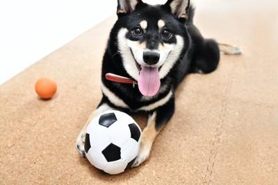 サッカーボールを前脚で抱える柴犬