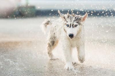 水しぶきの中のハスキーの子犬