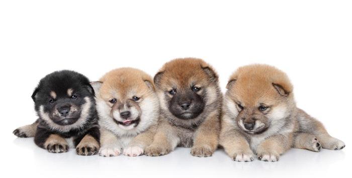 並んで座る4匹の子犬