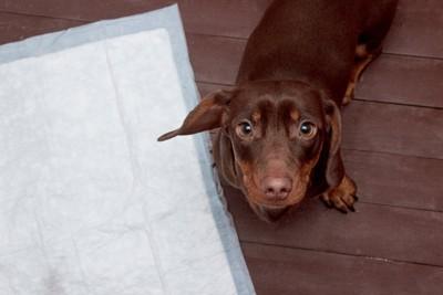 トイレシーツの横からこちらを見つめている犬
