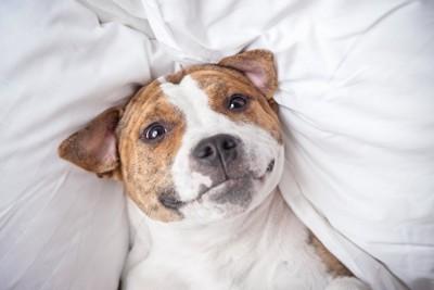 ベッドの上でにんまりと笑う犬
