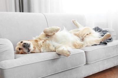 ソファーで仰向けになってくつろぐ犬