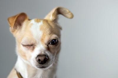 ウインクしている犬