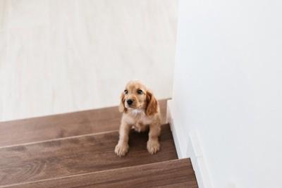 階段を上ろうとしているコッカーの子犬