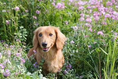 ピンクのお花と犬