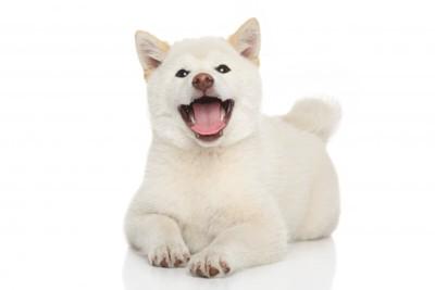 正面を向いている白い秋田犬